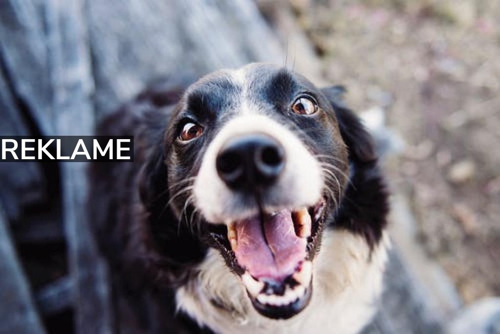 Overvejer du at købe en hund?